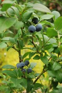 Amerikansk blåbärsbuske